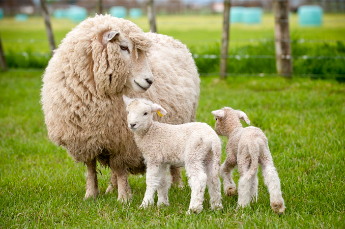 Genetic discovery leads to more lambs | AgResearch