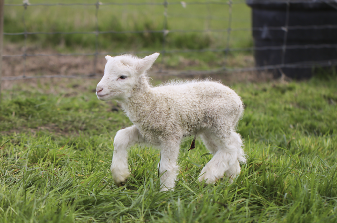 Opinion: Lamb survival in Spring storms