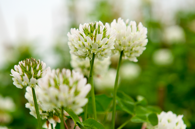 International effort leads to compelling white clover story