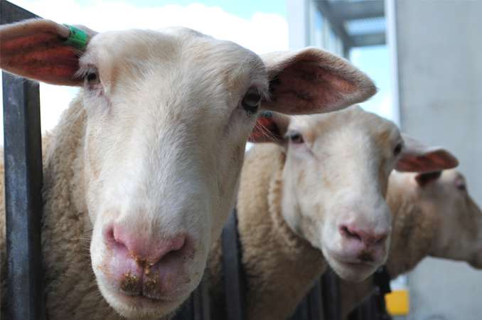 Growing sheep milk industry bolstered by science