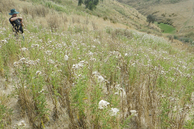 Economic cost of Californian thistle and other pasture weeds much larger than previously estimated