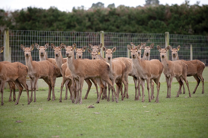 Potential boosts to deer industry from genetic gains