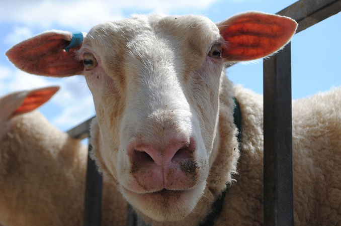 Research to set NZ sheep milk apart|Farm Research|AgResearch