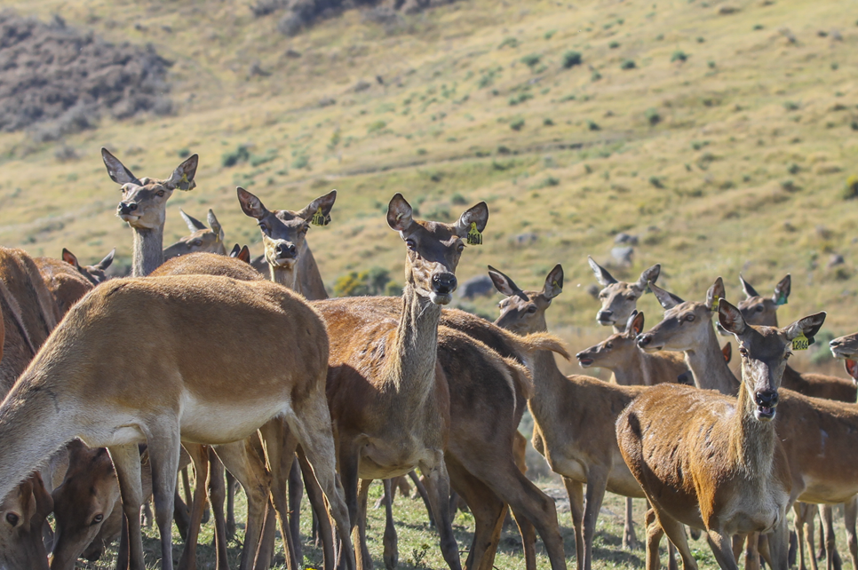 Deer Genotyping GenomNZ | Deer DNA Genotyping New Zealand