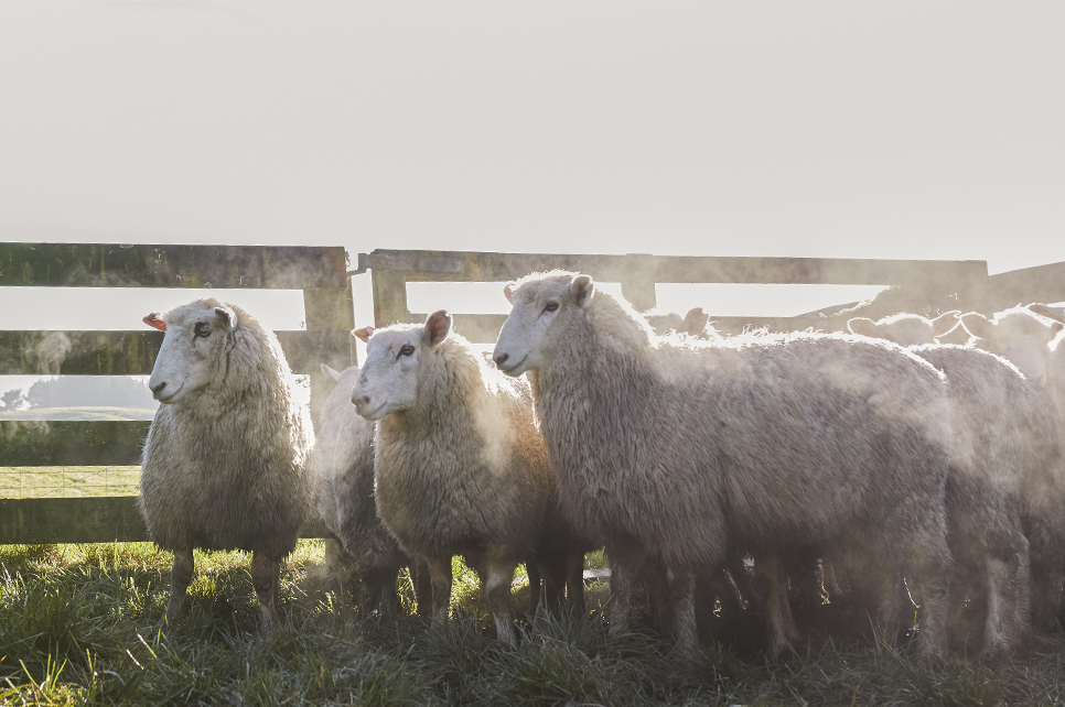 Sheep Genotyping | GenomNZ Animal DNA Genotyping Sheep | Genom NZ