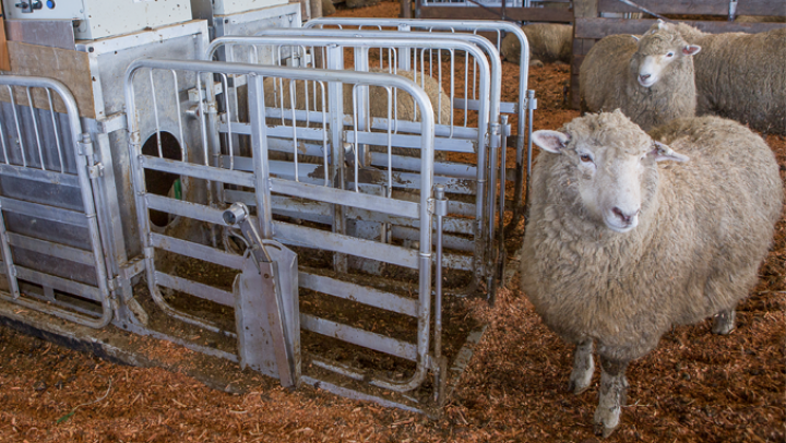 agresearch does breeding lower methane sheep