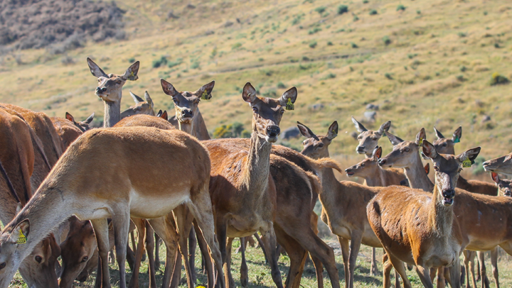 agresearch genomnz deer genotyping services image block2