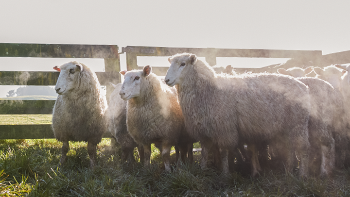 agresearch genomnz sheep genotyping services image block3
